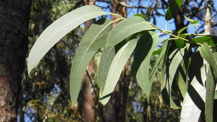 Biodibertsitatea babesteko, euskaliptoak Australiara